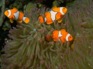 Tres peces payaso nadando entre una anémona