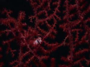Postal: Caballito de mar pigmeo en una muricella roja