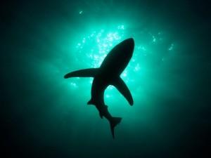 Tiburón en la superficie del océano