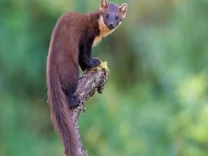 Postal: Una marta trepada en un tronco