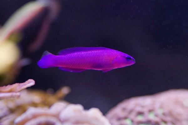 Un pequeño pez fucsia