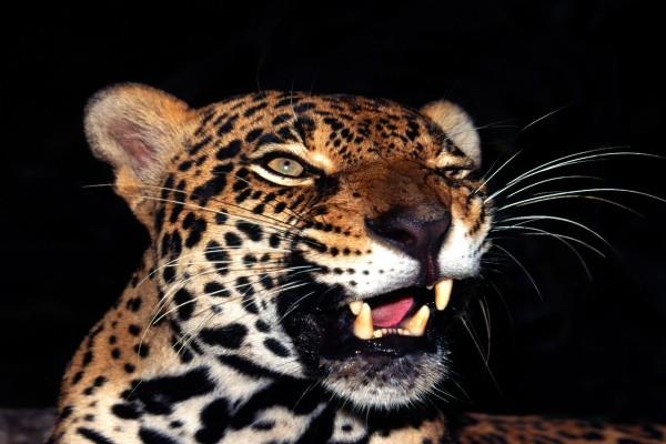 Los colmillos de un jaguar