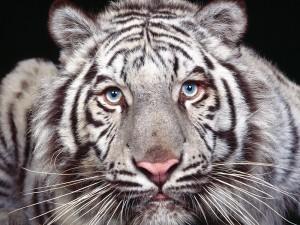 Los ojos azules de un tigre blanco