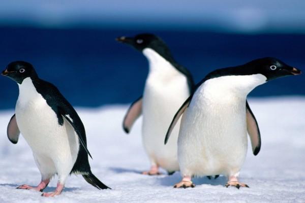 Tres pequeños pingüinos sobre el hielo