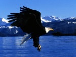 Águila lista para tomar tierra