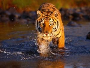 Tigre caminando por el agua