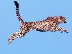 Guepardo en el aire