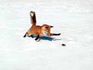 Postal: Zorro persiguiendo a un ratón sobre la nieve