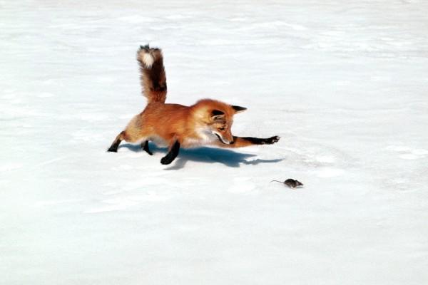 Zorro persiguiendo a un ratón sobre la nieve