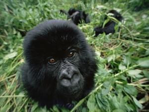 Postal: La cabeza de un pequeño gorila entre las hojas