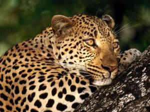 Postal: Hembra de leopardo sobre un tronco