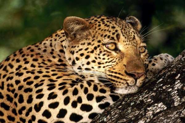 Hembra de leopardo sobre un tronco