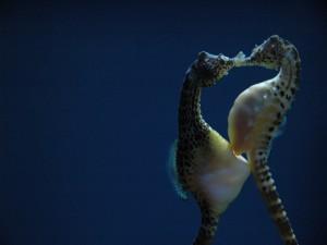 Postal: Hembra de caballito de mar depositando los huevos en la bolsa incubadora del macho