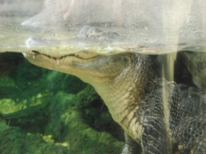 Postal: Caimán en un zoológico