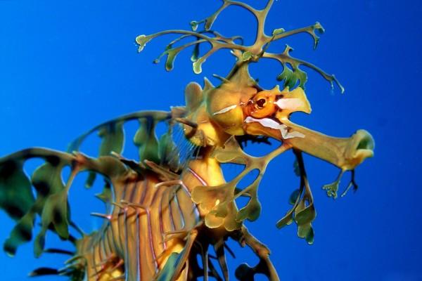 Un bonito dragón de mar visto de cerca