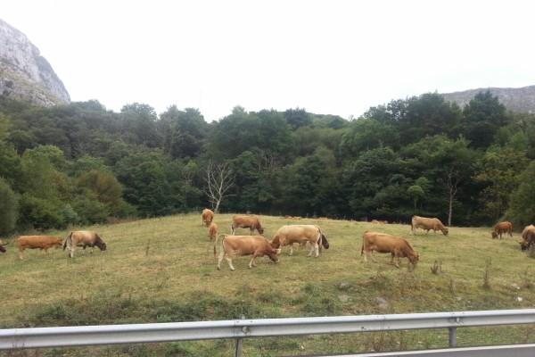 Vacas pastando junto a una carretera