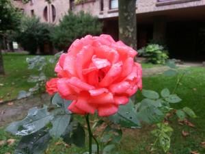 Postal: Agua de lluvia sobre una bonita rosa
