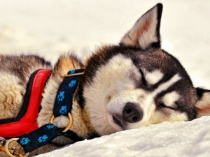 Postal: Perro esquimal durmiendo