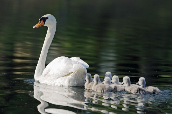 Polluelos siguiendo a mamá cisne por el lago