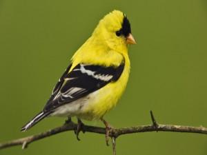Pájaro amarillo y negro posado en una fina rama