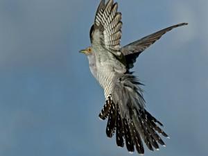 Un cuco con las alas desplegadas en pleno vuelo