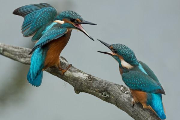Dos Martín pescador atacándose