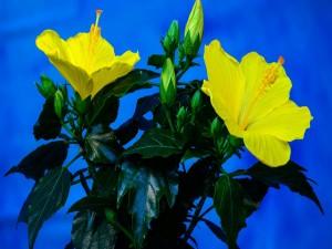 Bellas flores de hibisco con pétalos amarillos