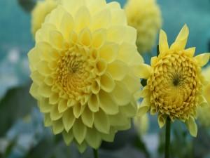 Postal: Hermosas dalias con pétalos amarillos