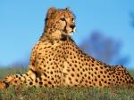 Un guepardo tumbado sobre la hierba
