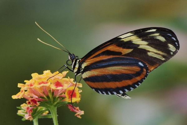 Una mariposa tigre sobre una flor