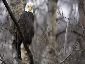 Águila calva observando el bosque