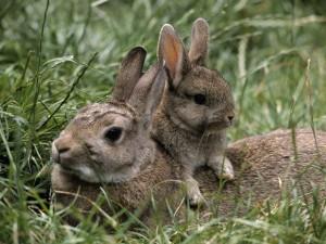 Un joven conejo subido al lomo de su madre