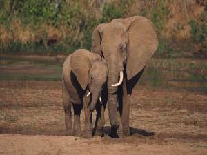 Postal: Pequeño elefante junto a su madre