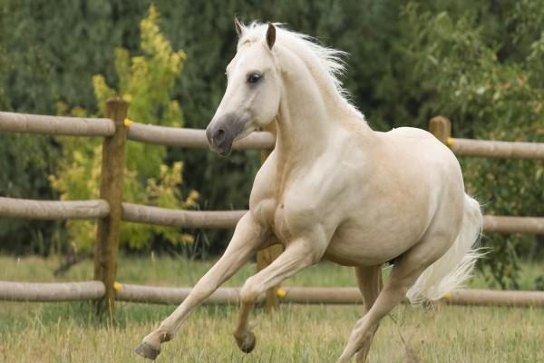 Un caballo blanco corriendo dentro de un recinto