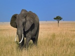 Un elefante africano caminando en soledad