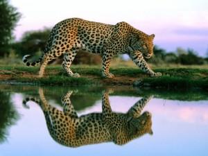 Postal: El reflejo de un leopardo