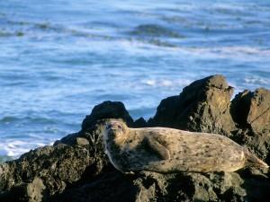 Postal: Una gran foca sobre las rocas