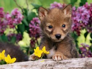 Postal: Un cachorro de coyote entre flores