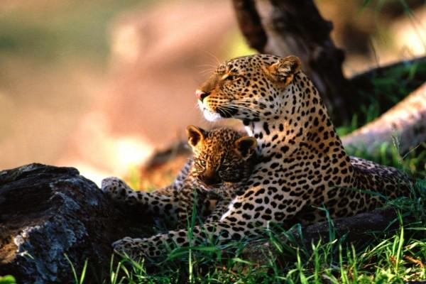 Una bella leoparda junto a su cachorro