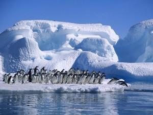 Postal: Colonia de pingüinos adelaida