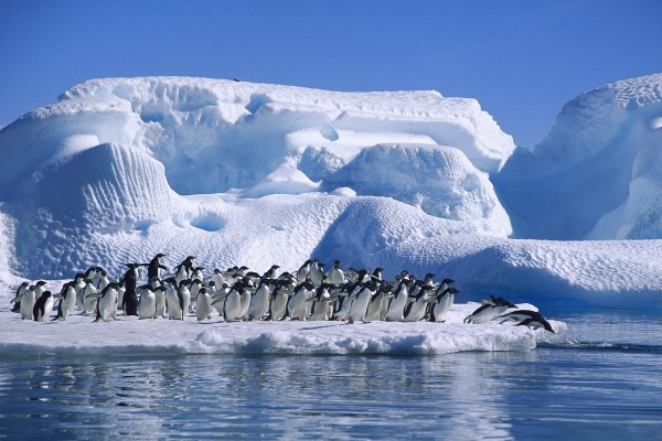 Colonia de pingüinos adelaida