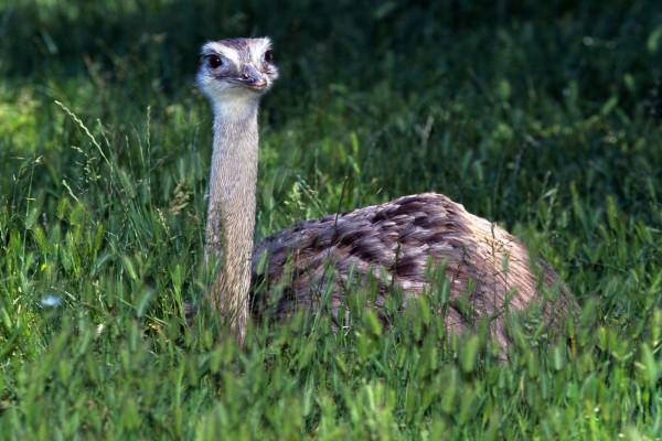Una joven avestruz entre la hierba