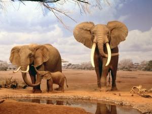 Familia de elefantes con grandes cuernos