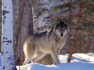 La mirada de un lobo gris quieto en el bosque