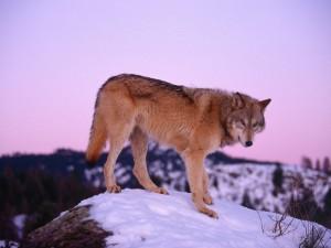 Postal: Un lobo sobre una roca cubierta de nieve