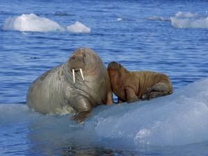 Morsa con su cría sobre el hielo