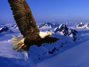 Postal: Un águila volando sobre las montañas nevadas
