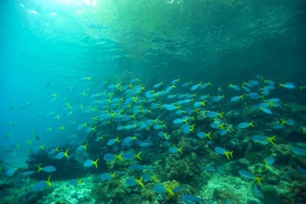 Banco de peces de cola amarilla