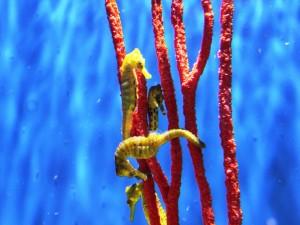 Postal: Caballitos de mar amarillos