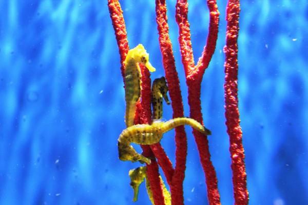 Caballitos de mar amarillos